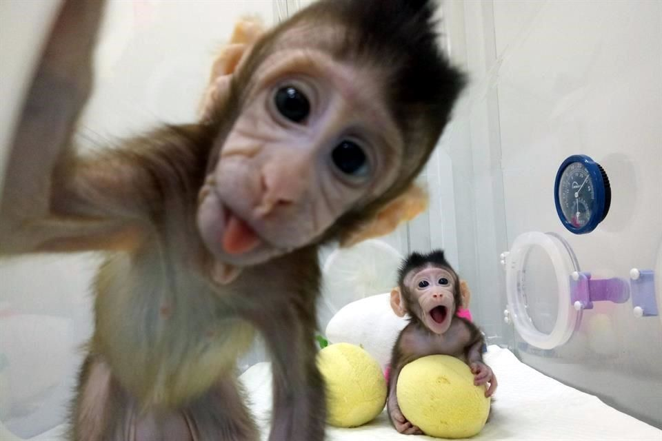 Clonan primeros macacos en China