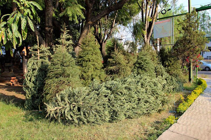 Puebla cuenta con siete centros de acopio para reciclar árboles de navidad