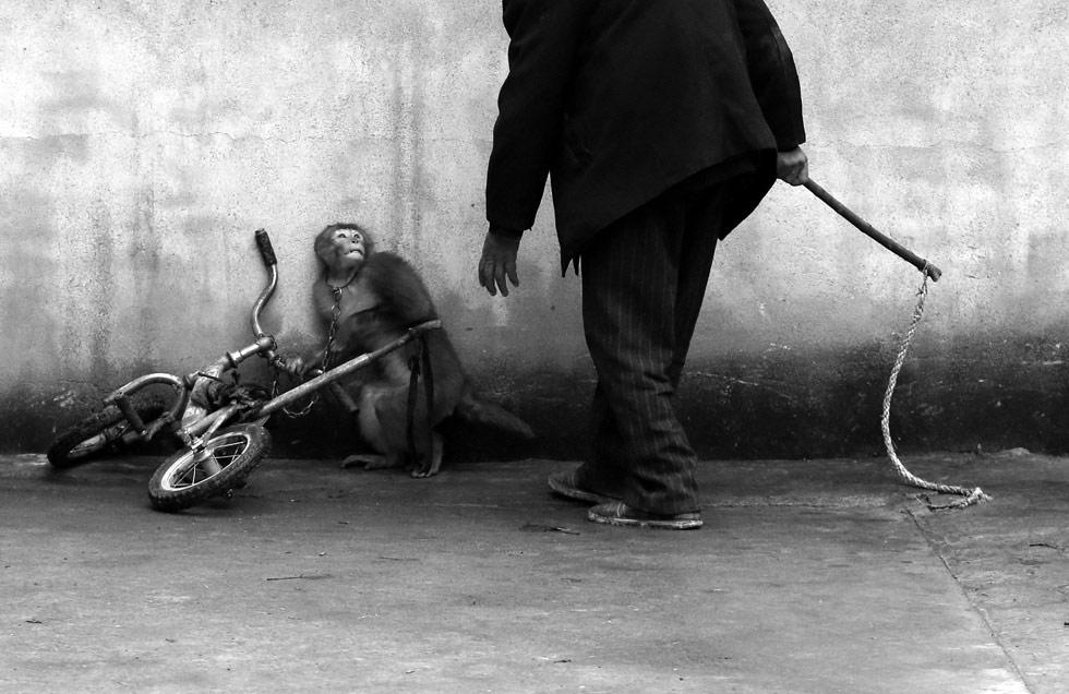 El fotógrafo chino Yongzhi Chu es el ganador en la categoría individual de Naturaleza. La imagen muestra a un mono mientras es adiestrado para trabajar en un circo, en Suzhou, en la provincia china de Anhui.