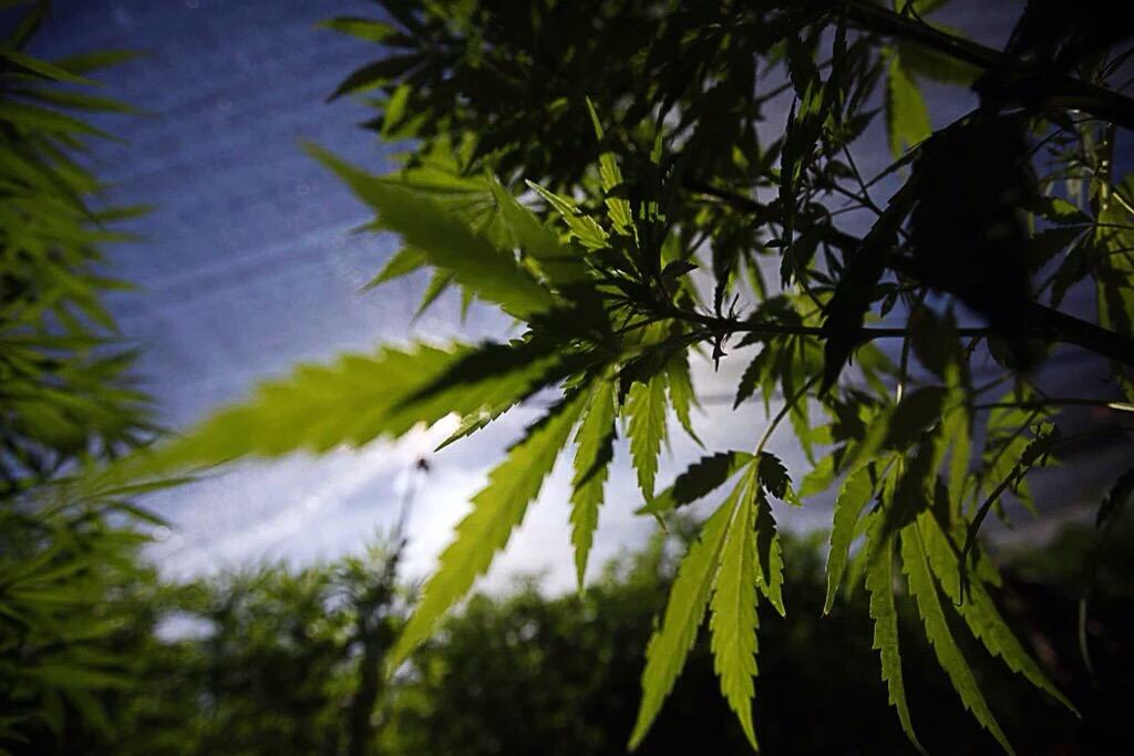 Aprueba el Senado, en lo general, dictamen para la regulación del cannabis