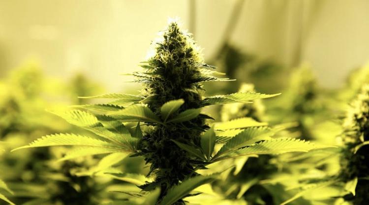 Acierto, encaminarse a tendencia global en legalización de cannabis