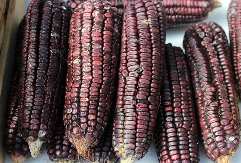 Impulsan desarrollo de maíz en Puebla